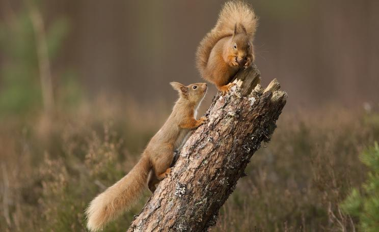 Across much of Britain, the red squirrel has been largely outcompeted by the introduced grey squirrel. Greys are immune to and spread squirrel pox virus, which is lethal to reds.(c) Peter Cairns