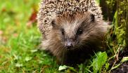 Photograph of a hedgehog resting on some grass