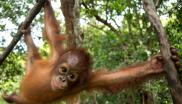 Orangutans: under severe threat from growth of palm oil