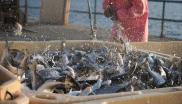 Sea Bream dumped in ice slurry bins