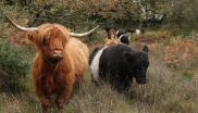 Highland cattle on a nature friendly farm