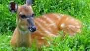 Ungulate laying in the grass