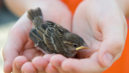 Baby sparrow in child's hands. Photo: Firma V / shutterstock.com.