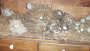 A bird egg collection (this one doubtless legitimate). Photo: thekirbster via Flickr.com.