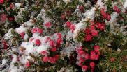 Snow on Mountain Pinkberry (Leptecophylla) in the Tasmanian Wilderness. Photo: Tatters ❀ via Flickr.