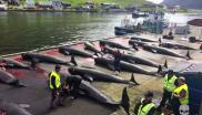 22 Pilot whales lined up on the shore at Hvannasund, Faroe Islands. Photo: Rosie Kunneke / Sea Shepherd.