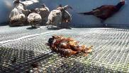 Pheasants reared for shooting kept on a cold and uncomfortable wire floor. Photo: League Against Cruel Sports.