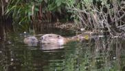 Beavers nuzzling in the Tay Valley. Photo: Scottish Wild Beaver Group via website.