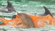 Bottlenose dolphins trapped by nets in the killing cove at Taiji, Japan. Photo: Dolphin Project.