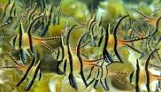 Banggai Cardinalfish in their natural habitat. Photo: Fondation Franz Weber.