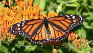 Monarch butterfly sipping nectar from milkweed. Photo: Sherri VandenAkker via Flickr (CC BY-NC-SA).