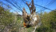 Robin caught in a mist net on the British military base in Cyprus. Photo: RSPB / Birdlife Cyprus.
