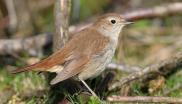 Nightingale, Minsmere RSPB, Suffolk (c) Ian Curran.