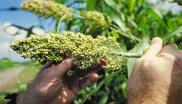 Sorghum is a staple food for almost half a billion people in Africa and South Asia.