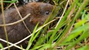 The endangered water vole which GWT recently reintroduced to the Levels. (c) GWT